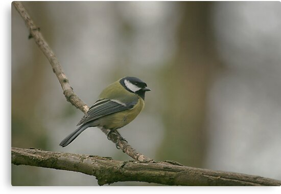 A great tit at Downton Abbey by miradorpictures