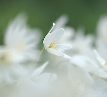 Wood anemone at Downton Abbey by miradorpictures