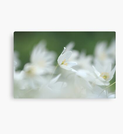 Wood anemone at Downton Abbey Canvas Print