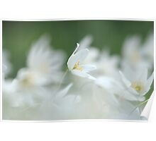 Wood anemone at Downton Abbey Poster