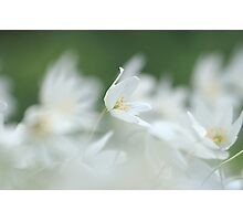 Wood anemone at Downton Abbey Photographic Print