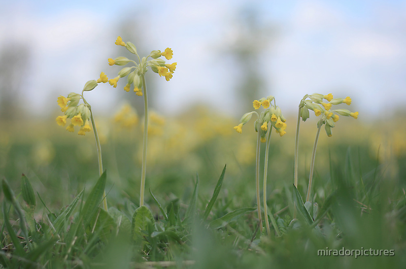 An emergence of cowslip at Downton Abbey by miradorpictures