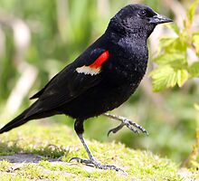 Chipper Red-Winged Bird by Wolf Read