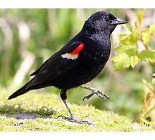 Chipper Red-Winged Bird Photographic Print