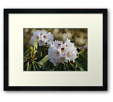 Red and White Ericaceous Splendour Framed Print