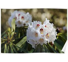 Red and White Ericaceous Splendour Poster