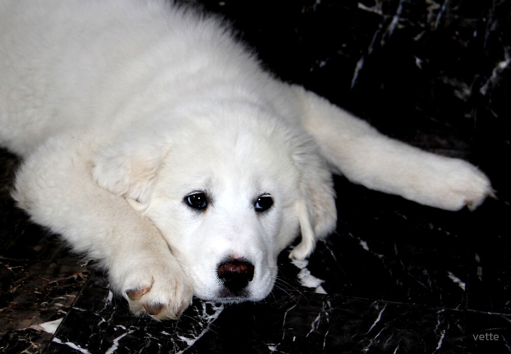 Mother's Day Gift - Pyrenees Mountain Dog Puppy by vette