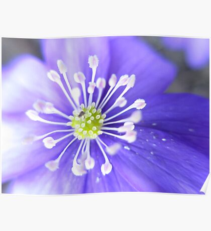 Blue spring flower 3 Poster