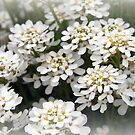 So Sweet White Alyssum by Linda Makiej