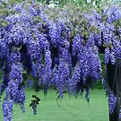 Lavendar Wisteria in May by Rainydayphotos