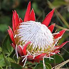 An Australian Protea!! by jozi1