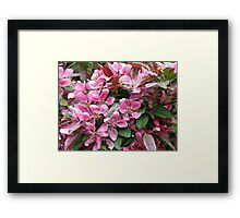 Beautiful Pink Crabapple Blossoms Framed Print