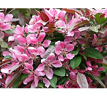 Beautiful Pink Crabapple Blossoms Photographic Print