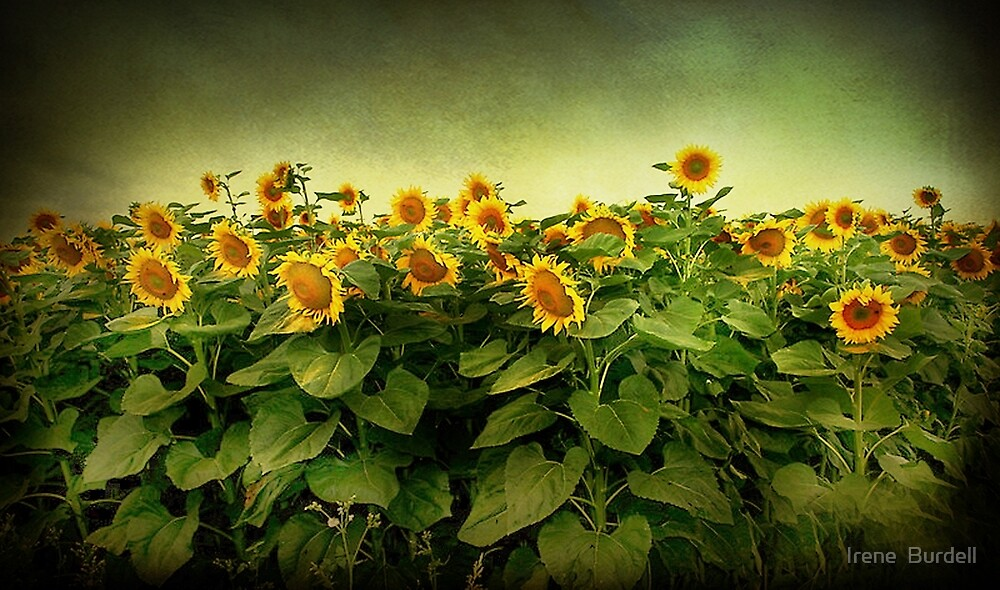 Field of Gold . by Irene  Burdell