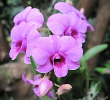 orchid - moth orchid by helenclare