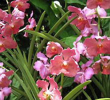 Orchid - Vanda x by helenclare