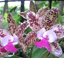 Orchid - Cattleya x by helenclare