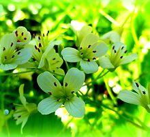 Nasturtium officinale, wild watercress by ©The Creative  Minds