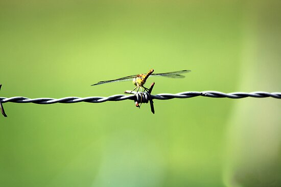 Barbed Dragon Fly by Bader Al Moulah