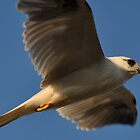 Black Shouldered Kite Flight by TootgarookSwamp