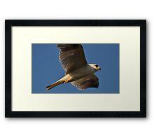 Black Shouldered Kite Flight Framed Print