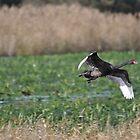Black Swan by TootgarookSwamp
