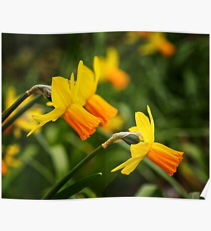 Daffodils in April Poster