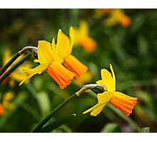 Daffodils in April Photographic Print