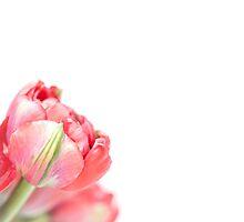 Peony Tulip... (2) by Bob Daalder