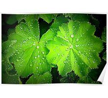 Alchemilla ~ Lady's Mantle Poster