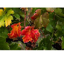 Red and Green Vines Photographic Print