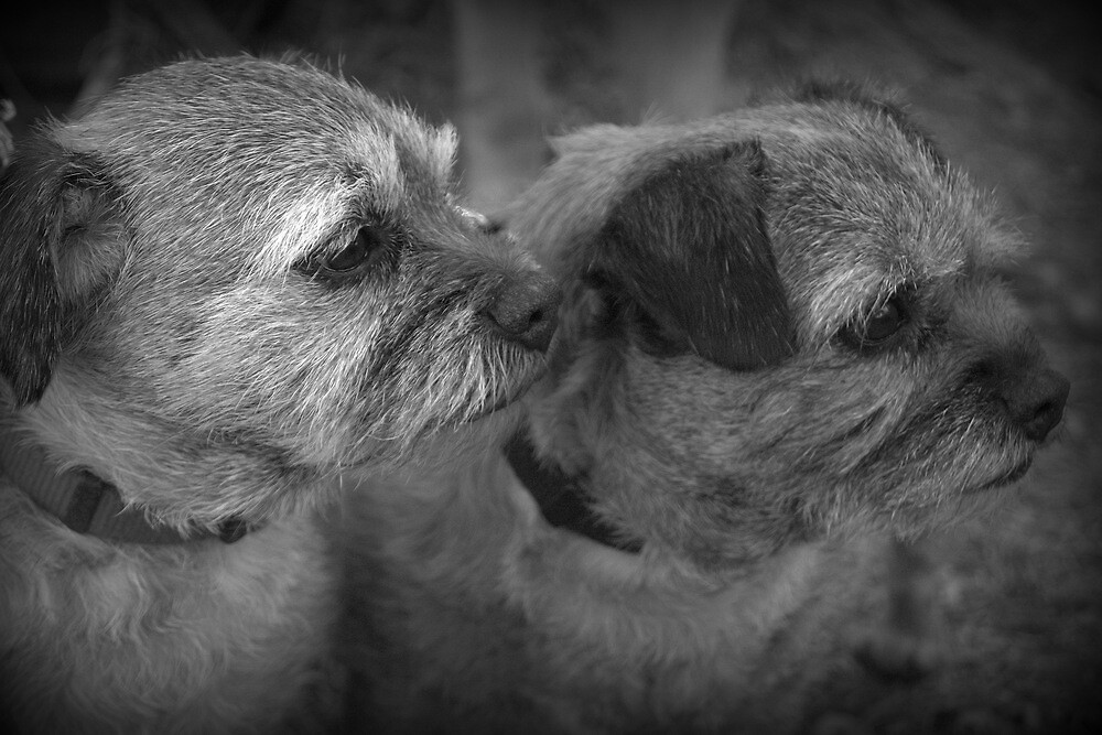 Border Terriers by Lou Wilson
