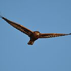 Swamp Harrier Glide by TootgarookSwamp