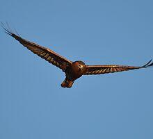 Swamp Harrier Glide by TootgarookSwamp