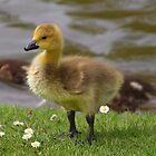 Cute Gosling by Paul Bettison