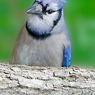Blue Jay Up Close by imagetj