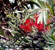 Bottlebrush blooms and berries by ♥⊱ B. Randi Bailey