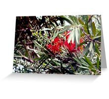 Bottlebrush blooms and berries Greeting Card