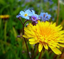 Forget-me-not ,  Dandelion . by Antoinette B