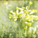 Fairy Cups (Cowslips) by viennablue