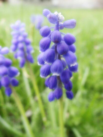 Purple Grape Hyacinth by vigor