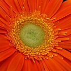 Orange Gerbera. by Lee d'Entremont