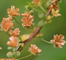 Open Seed Pods of the Babys Breath Bush by NatureGreeting Cards ©ccwri