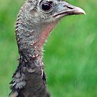 Portrait of a Wild Turkey by KAREN SCHMIDT