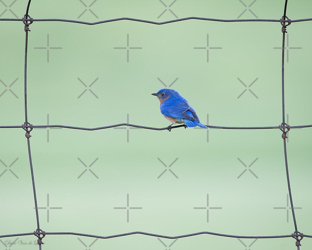 Eastern Bluebird on a wire by (Tallow) Dave  Van de Laar