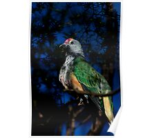 Rose Crowned Fruit Dove Poster