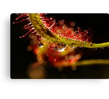 Water Droplets On A Sundew Canvas Print