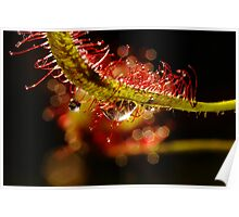 Water Droplets On A Sundew Poster
