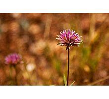 Purple Pilbara Flower Photographic Print