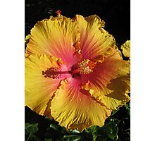 Gold & Flame Hibiscus, Botanic Gdns. Adelaide, Sth. Aust. Photographic Print